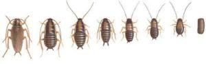 Diferentes ninfas de cucaracha
