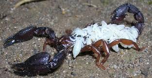 escorpion con sus crias bebes