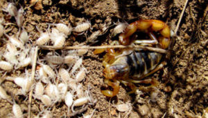 nido de escorpion y crias bebe