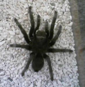 fumigacion araña